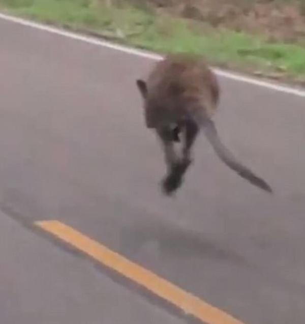 美国乡村公路惊现袋鼠 居民称是自家走失宠物