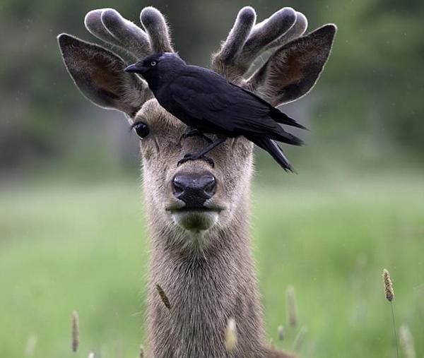 老兄我看不见了!英寒鸦停雄鹿头上觅食遮挡其视线