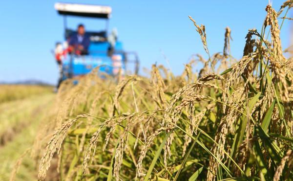 青岛海水稻:如种植1亿亩,每年多养活8000万人