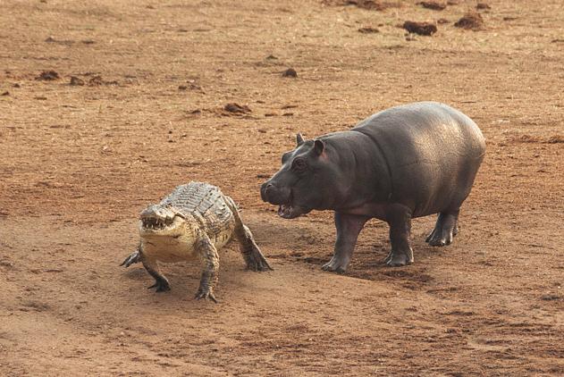 津巴布韦野外霸主对决 河马完胜鳄鱼落荒而逃