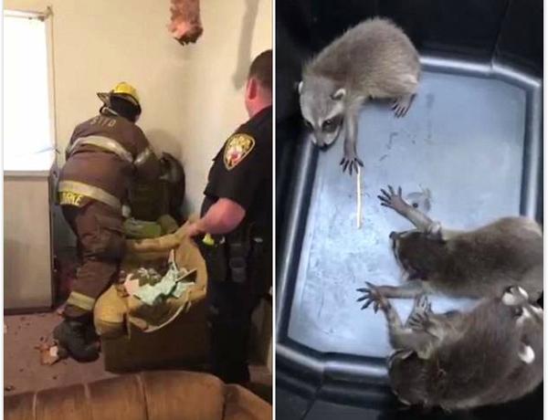 美浣熊妈妈带4只幼崽从居民家天花板破洞而下