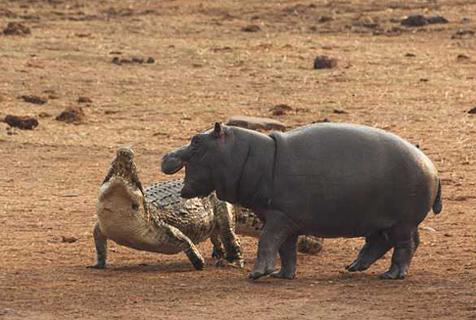 津巴布韦鳄鱼湖边打盹遭两小河马吓醒追赶