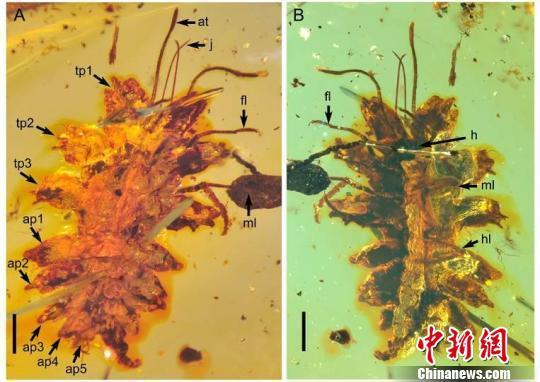 中国科学家在琥珀中发现一亿年前昆虫拟态行为
