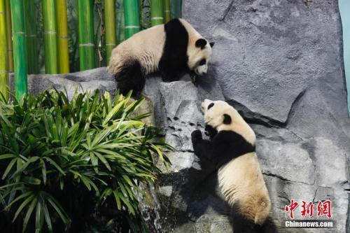 """中国侨网图为""""加悦悦""""(上)与""""加盼盼""""正在对望。中新社记者 余瑞冬 摄"""