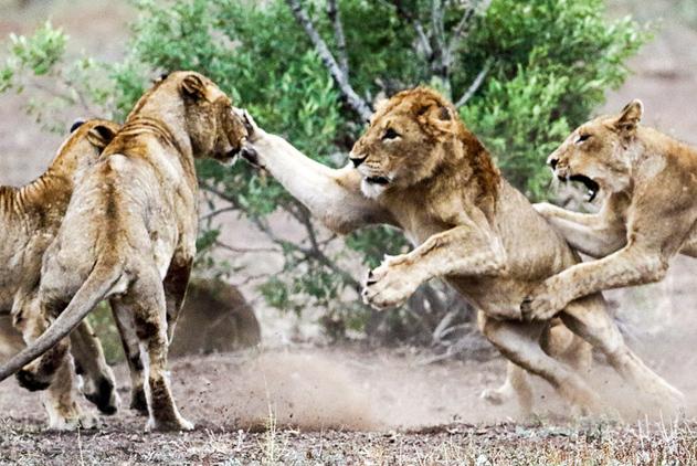 一言不合就动手!摄影师拍南非狮子打群架