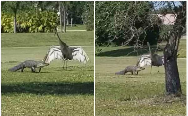 爱的翅膀!沙丘鹤为保护家人张开翅膀防御鳄鱼