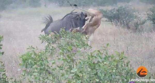 狮口脱险!南非角马遭遇伏击后刺伤狮子逃脱
