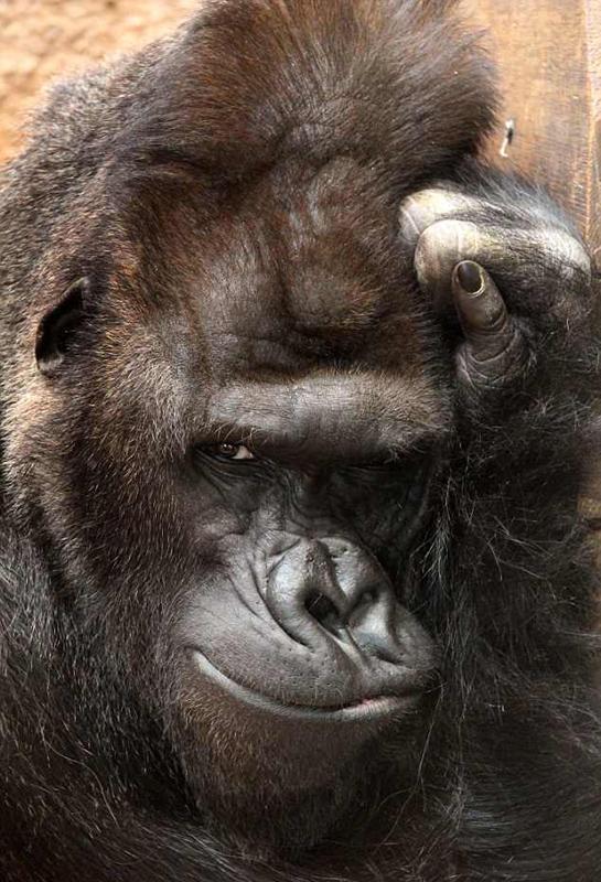 撩妹满分!捷克大猩猩对镜头眨眼模特范儿十足