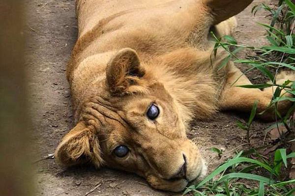 菲一动物园涉嫌虐待动物 失明狮子被囚窄笼