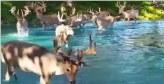 一群走在水中的鹿,这画面像在童话里一样