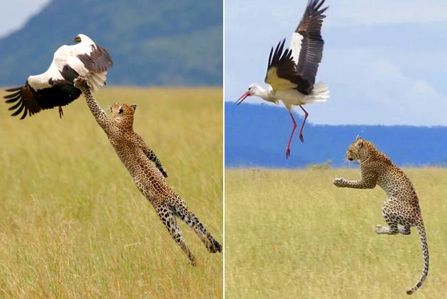 坦桑尼亚林鹳振翅飞翔 逃离花豹魔爪