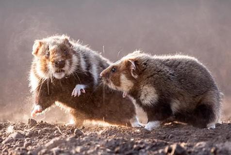 功夫老鼠!匈牙利公园两仓鼠沙土中搏斗