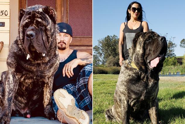 美男子培育出世界最大狗 未满周岁身高1.83米