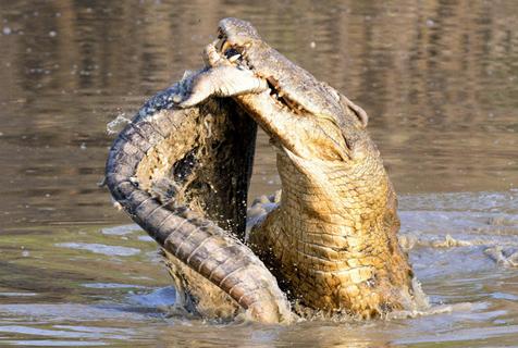 赞比亚鳄鱼捕食同类 尽显凶残本性