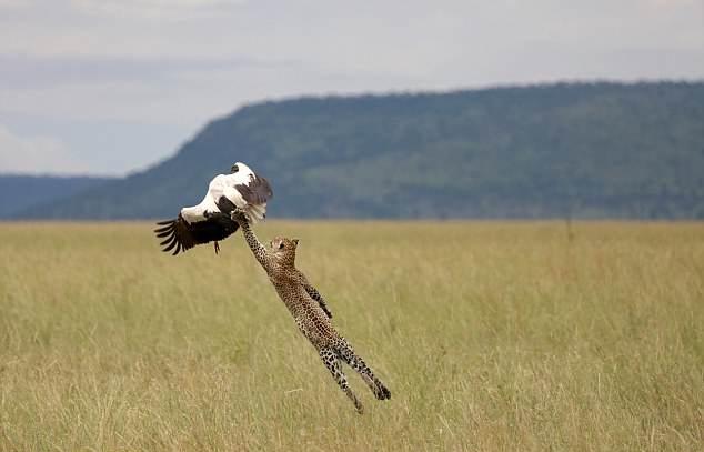 机敏!坦桑尼亚白鹳遭花豹埋伏 腾空飞起幸运逃脱