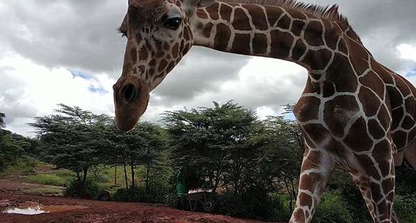 抢戏!肯尼亚小长颈鹿越过围绳在游客中跳跃穿行