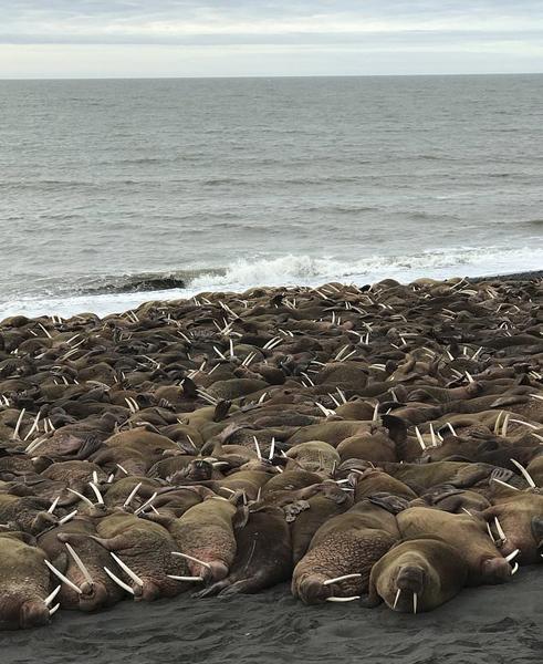 逾200头海象登陆阿拉斯加海岸 或与觅食有关