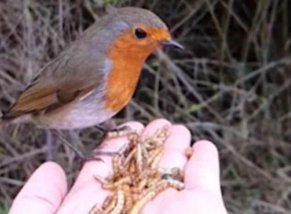 英女子慢镜头记录知更鸟在其手上优雅吃虫画面