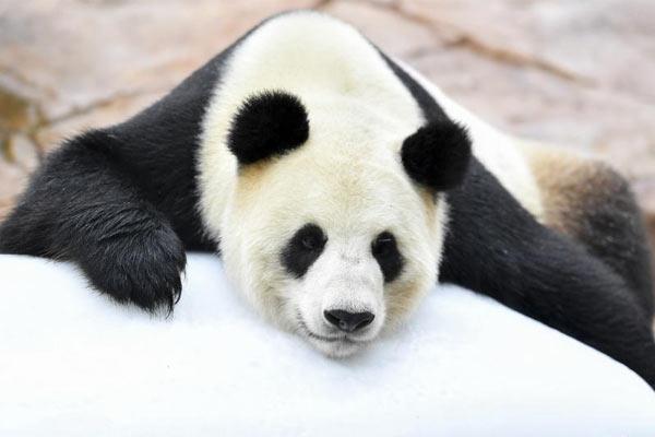 """汶川大熊猫""""婷婷""""趴冰消暑 静待二胎佳音"""