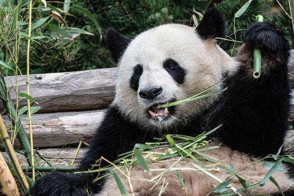 旅德大熊猫在柏林动物园啃竹子 津津有味