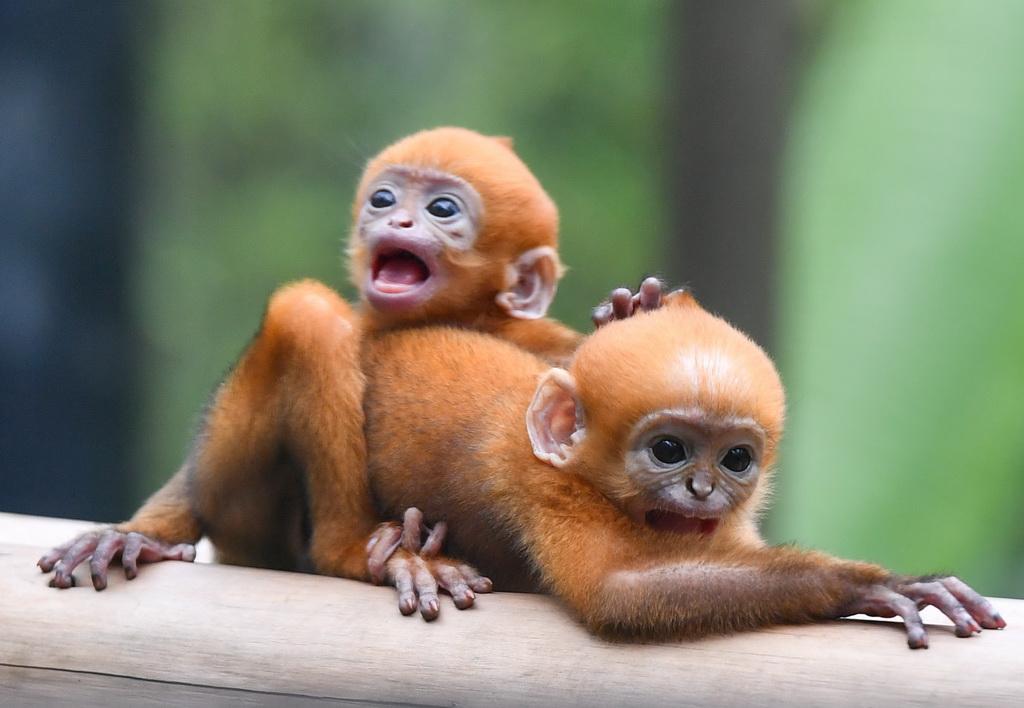 珍稀黑叶猴诞下龙凤胎