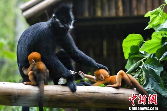 世界首例珍稀黑叶猴龙凤胎在广州诞生(图)
