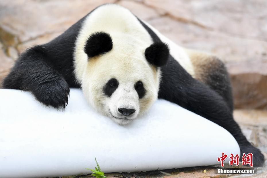 """媒体:汶川大熊猫""""婷婷""""趴冰消暑 静待二胎佳音"""