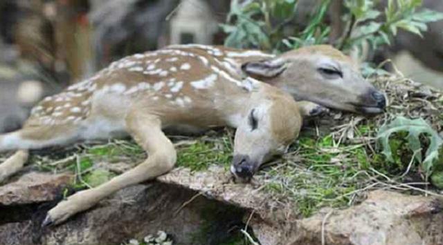 极其罕见!美国森林惊现一只双头畸形小鹿尸体