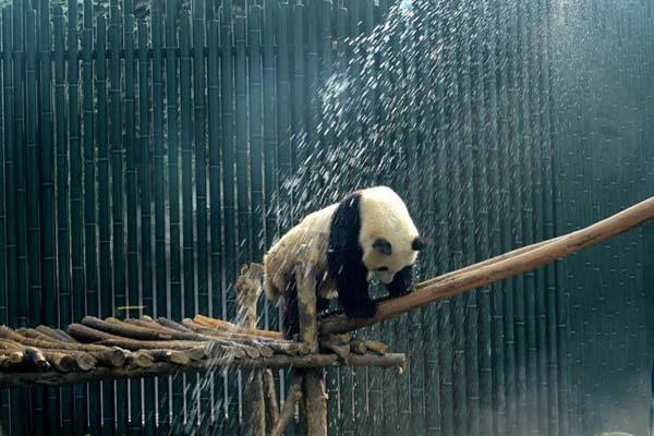 北京动物园:大熊猫淋浴享清凉