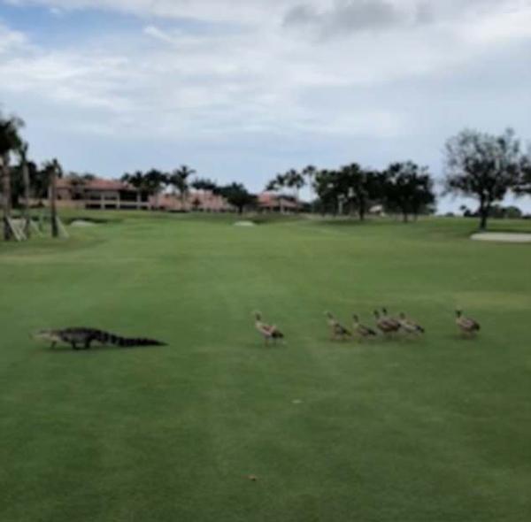 颜面何在!美一鳄鱼被鹅群赶出高尔夫球场