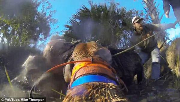 美猎犬飞速追赶野猪 坚持不懈终将其捕获