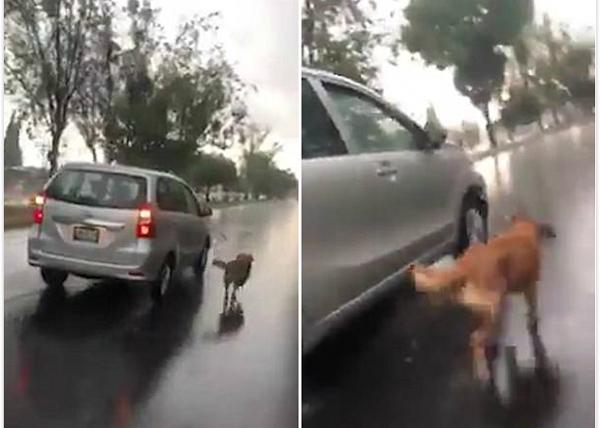 残忍!夫妇雨中开车遛狗 狗狗体力不支险丧命