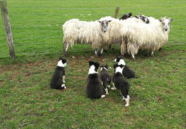 可爱!英6只牧羊犬幼崽首次草场牧羊技术娴熟