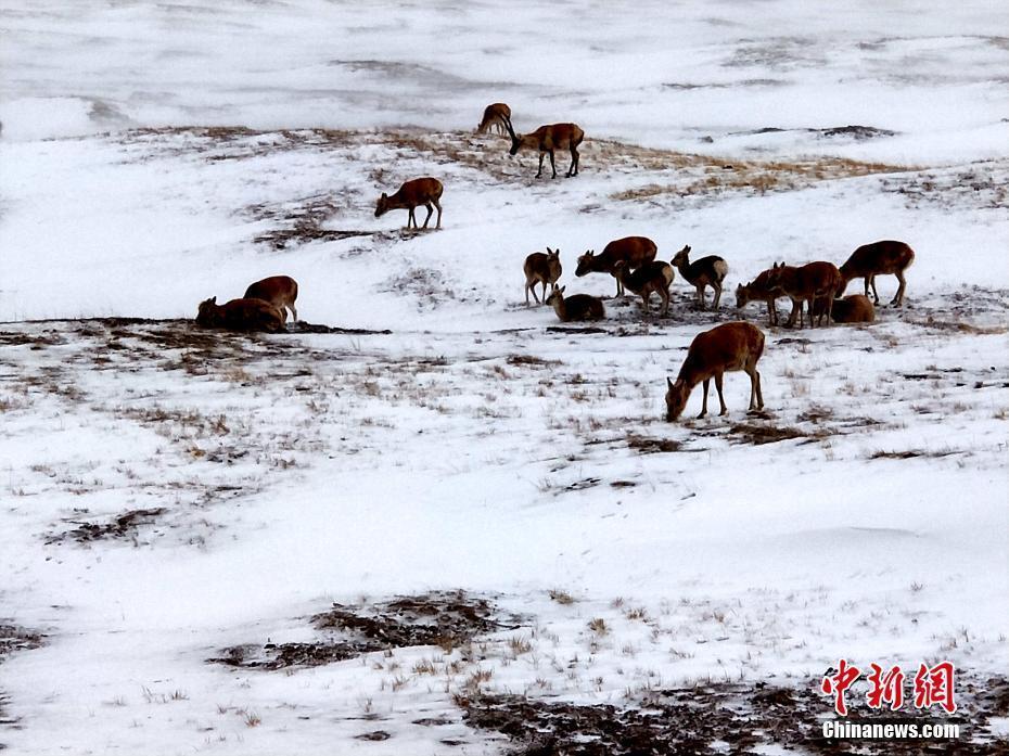 媒体:可可西里数千只藏羚羊雪中觅食