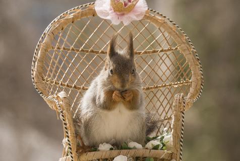 瑞典小松鼠准备皇室婚礼 试婚纱骑白马