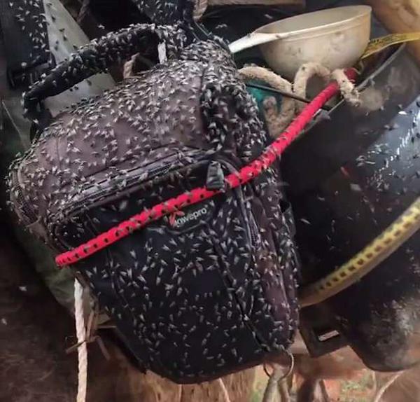 密集恐惧症慎入!澳沙漠一骆驼被密密麻麻苍蝇覆盖