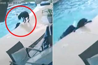 犬类英雄!美狗狗下水勇救不会游泳同伴