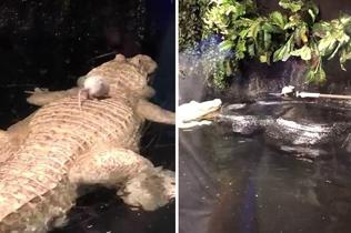 超强求生欲!老鼠被投喂鳄鱼池 顽强挣扎欲逃离