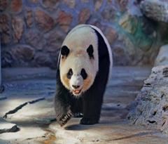"""四只大熊猫""""做客""""河北"""