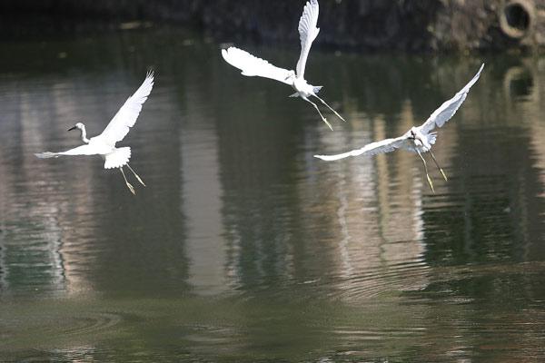 """东莞:探访闹市的白鹭栖息地 成摄影爱好者""""打鸟""""地"""
