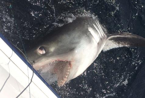 英国三男子钓到鲨鱼 拉锯40分钟成功捕获