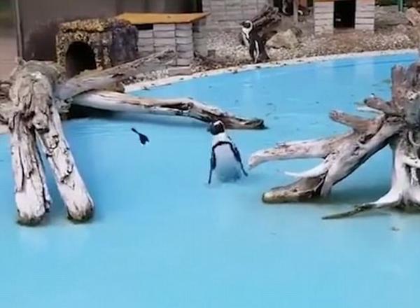 日本动物园一企鹅追逐蝴蝶屡战屡败惊呆同伴