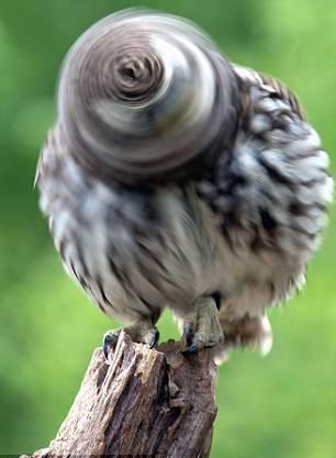 难以置信!猫头鹰脑袋快速旋转如电钻