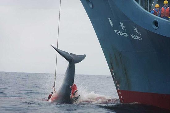 """日本开展本年度""""科研捕鲸"""":拟猎杀177头,被指官商勾结"""