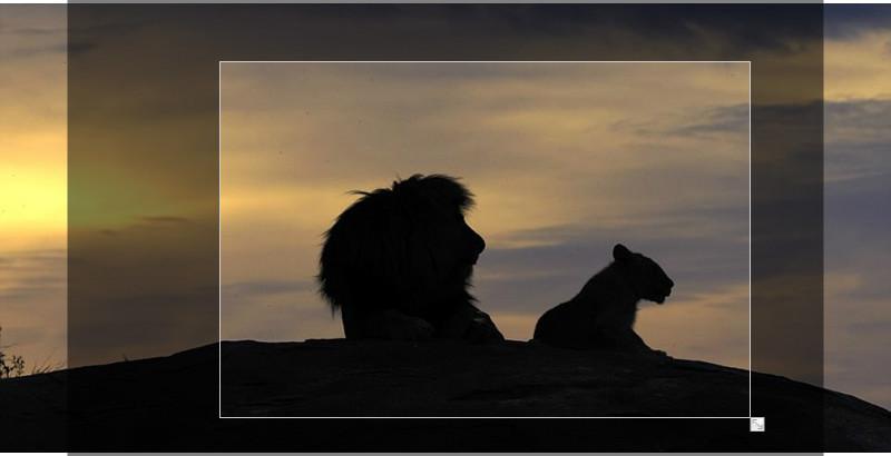 坦桑尼亚雄狮父子再现《狮子王》经典场面