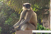 印度野猴多次恶意袭击伤人 居民不堪其扰被迫离家