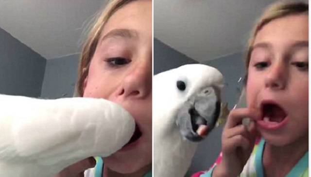 美国小女孩让宠物鹦鹉帮其拔掉松动乳牙