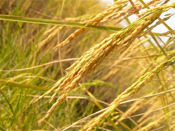 科学研究表明 中国人推广水稻种植功不可没