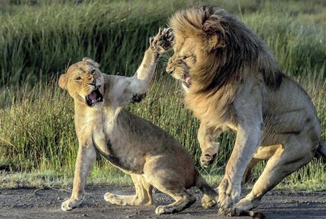 """非洲狮子夫妇吵架 母狮愤怒掌掴""""男友"""""""