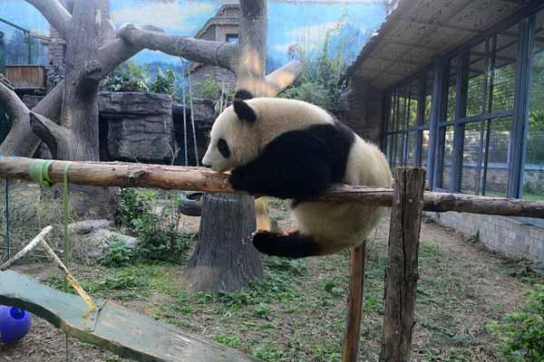 """北京:奥运大熊猫点点荡""""秋千""""秀功夫"""